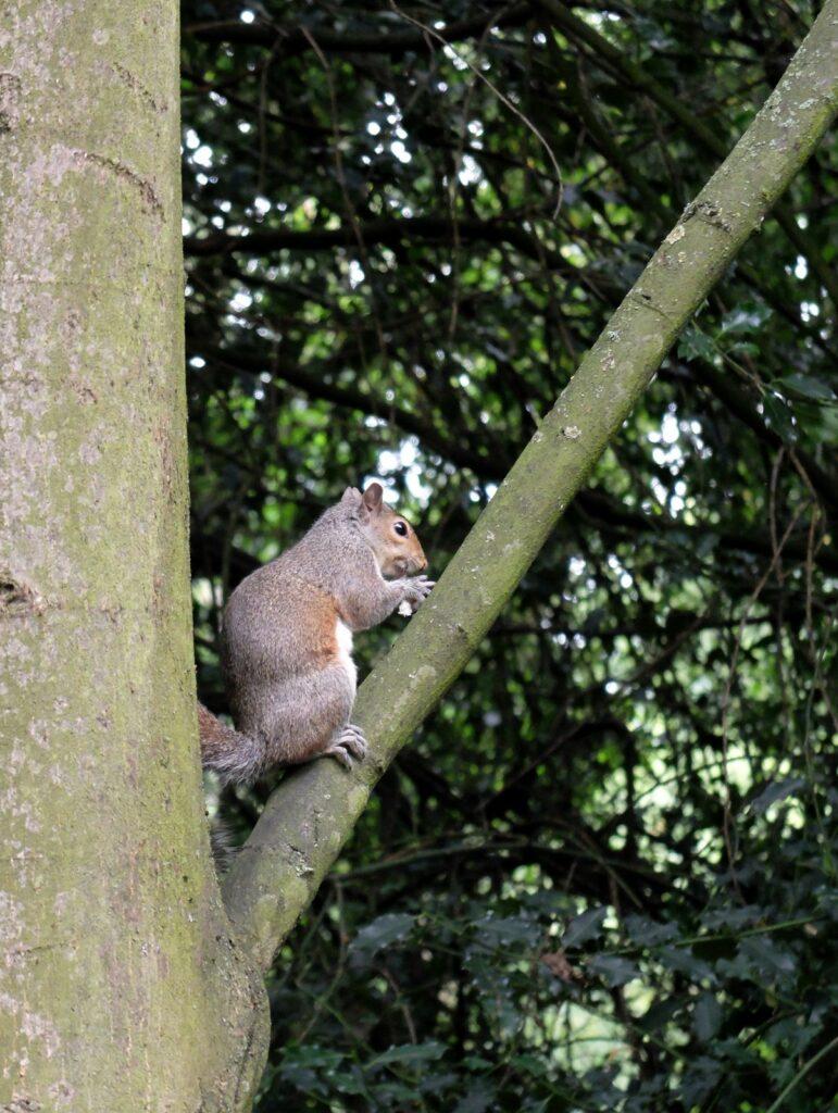 Ecureuil à Holland Park